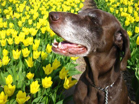 rifrug: Pointer in a tulipfield