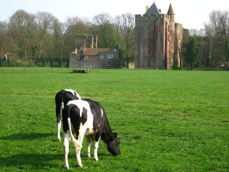 aristocracy: cows in front of Brederode Castle Stock Photo