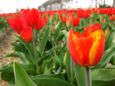 hyacints narcissus: orange red tulip Stock Photo