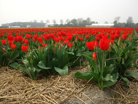 hyacints narcissus: field with red tulips