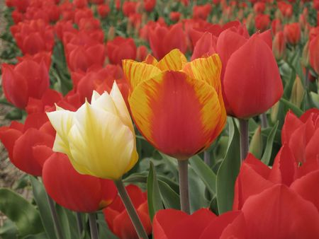 hyacints narcissus: yellow and orange tulip in a field of red tulips