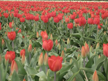 hyacints narcissus: red tulips