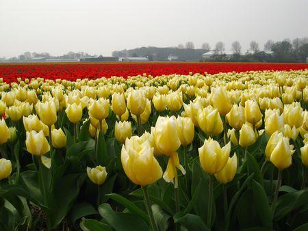 hyacints narcissus: yellow white tulips