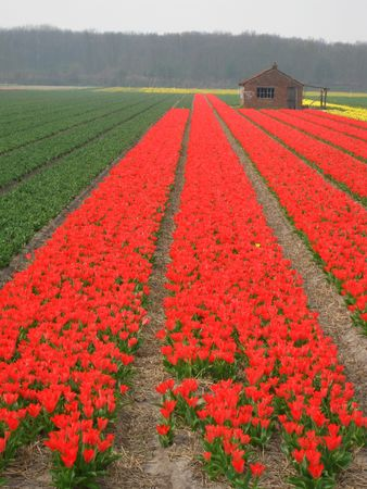 hyacints narcissus: tulips in the field Stock Photo