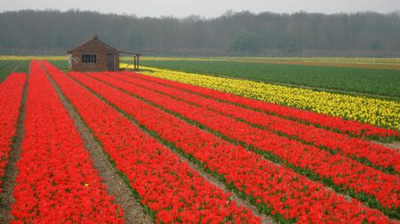 hyacints narcissus: red tulips and shed (panorama size) Stock Photo