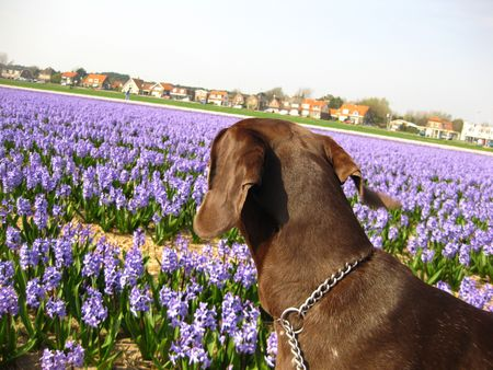 rifrug: German shorthaired pointer enjoying the floral industry