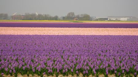 hyacints narcissus: floral industry in the Netherlands (panorama)