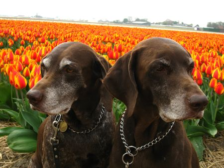 rifrug: Pointer sisters in front of a tulip field