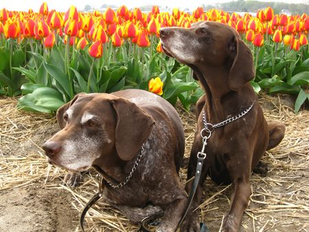 hyacints narcissus: German shorthaired pointers