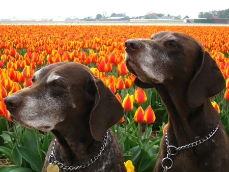 hyacints narcissus: Pointer sisters in front of a tulip field
