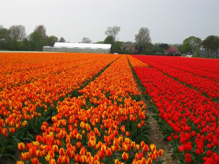 hyacints narcissus: orange and red tulips on field