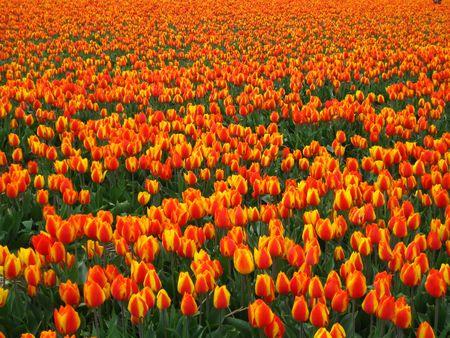 hyacints narcissus: orange tulip background Stock Photo
