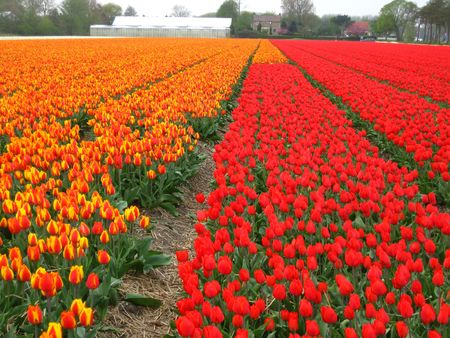 hyacints narcissus: orange and red tulips Stock Photo