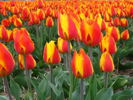 hyacints narcissus: orange red tulips
