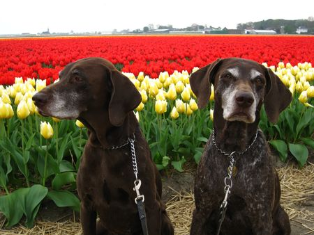 hyacints narcissus: Pointers in a tulipfield Stock Photo