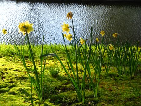 hyacints narcissus: narcissus on the waterside