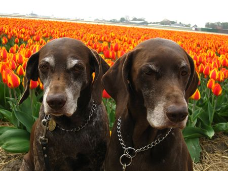 Pointer sisters in front of a tulip field photo