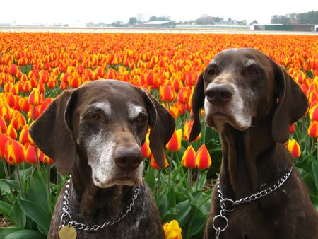 Pointer sisters in front of a tulip field