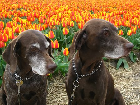 rifrug: Pointer sisters in a flower field