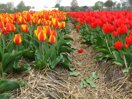 tulips in the field photo