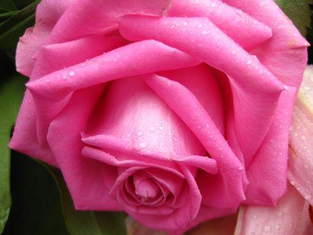 pinbk rose photo