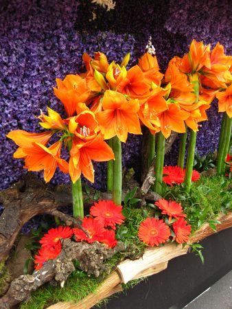 hyacints narcissus: orange amaryllis on floral parade Stock Photo