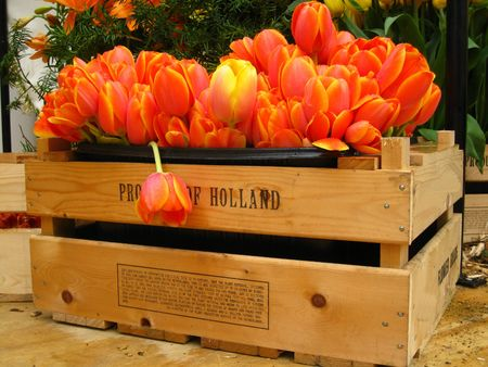 hyacints narcissus: tulips: product of Holland Stock Photo