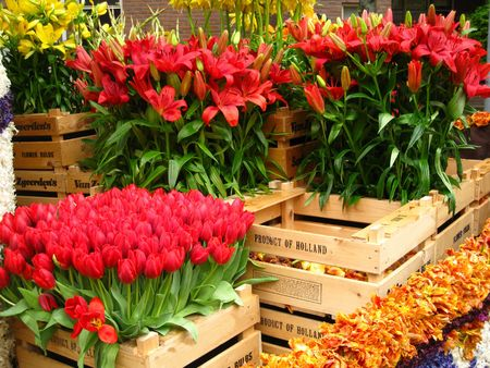 hyacints narcissus: wooden boxes with tulips