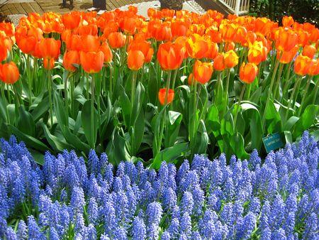 orange tulips and blue common grape hyacints photo
