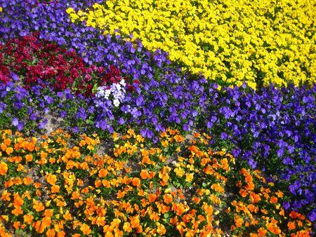 violas color splash photo