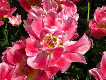 pink tulip close up photo
