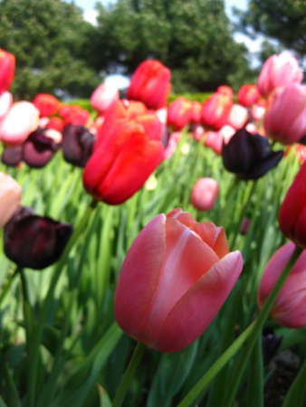 field of tulips: mixed colors photo