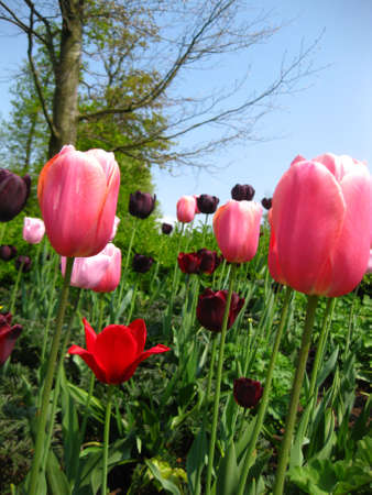 pink tulips and a clear blue sky, just a perfect day photo
