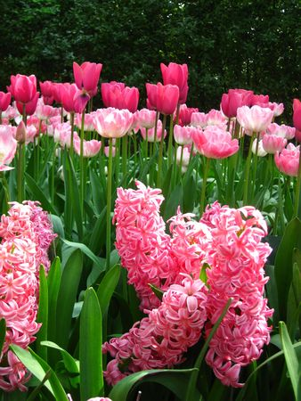 Pink hyacints and tulips photo
