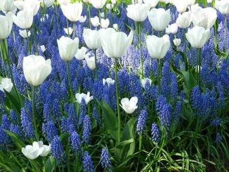 mariage mixte: blanc et bleu tulipes commun raisin hyacints