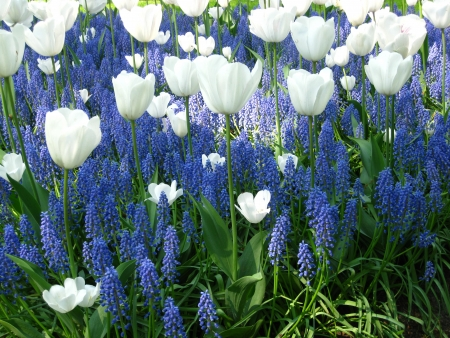 dutch: white tulips and blue common grape hyacints Stock Photo