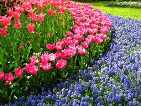tulipanes de color rosa y azul uva común hyacints Foto de archivo - 4772823
