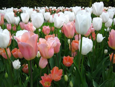 field of tulips: white and salmon