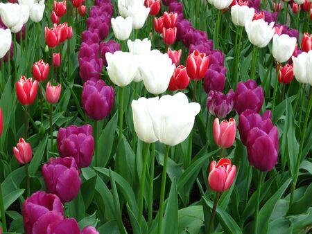 Dutch tulips photo
