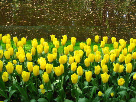 yellow tulips in a park photo