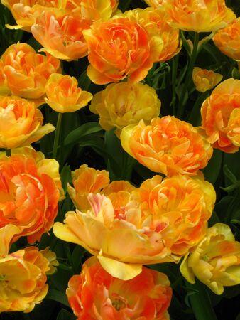 field of tulips: yellow and orange Stock Photo - 4772822