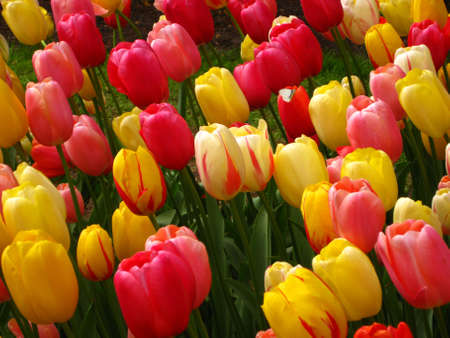 collection of yellow and pink tulips photo