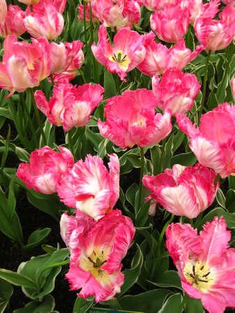 field of tulips: fuchsia pink photo