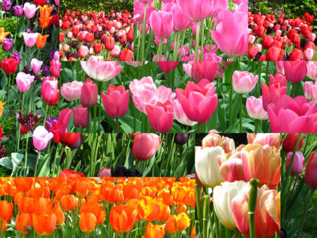 Tulip collage Stock Photo - 4772954