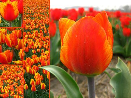 Orange tulip collage greeting card photo