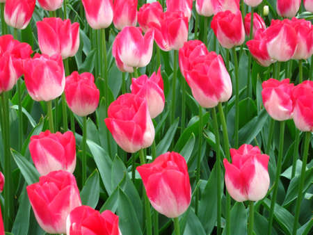 pink tulips in the field Stock Photo - 4815891