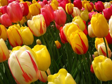 mixed color tulips, yellow and pink Stock Photo - 4815875
