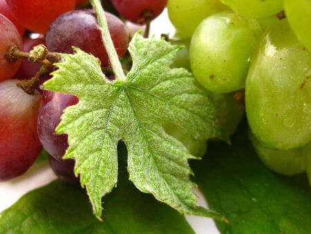 bordeau: grape leaf on green and red grapes