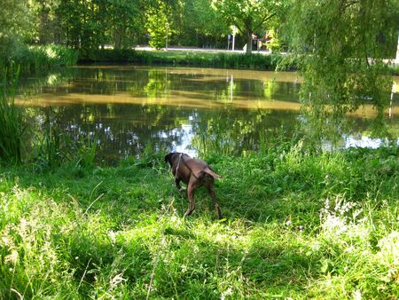 rifrug: Pointer on the waterside Stock Photo