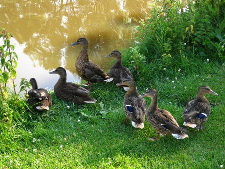 Group of ducks Stock Photo - 5153057